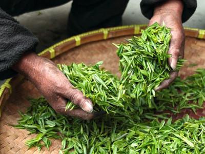 Znáte rozdíl mezi zeleným a černým čajem?